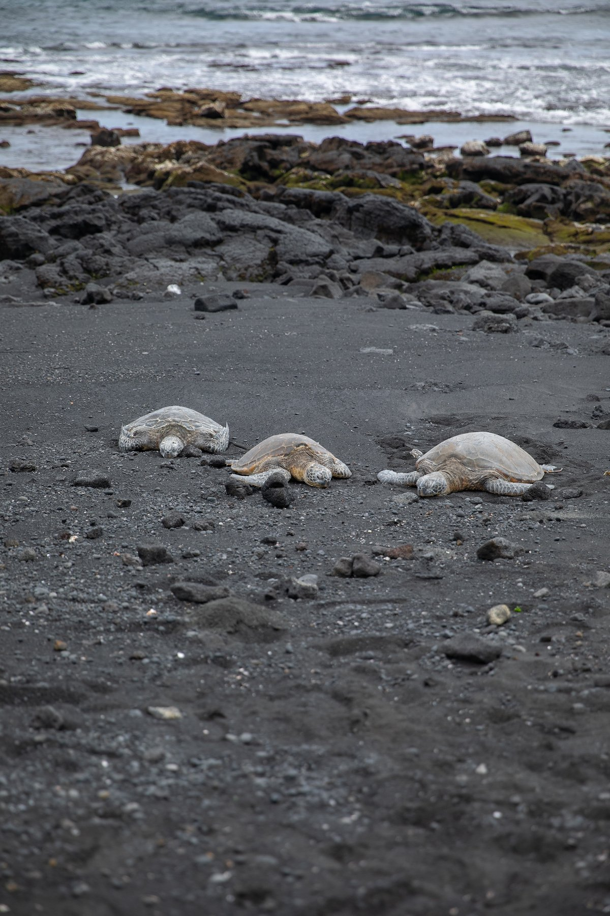 three sea turtles on black sand beach