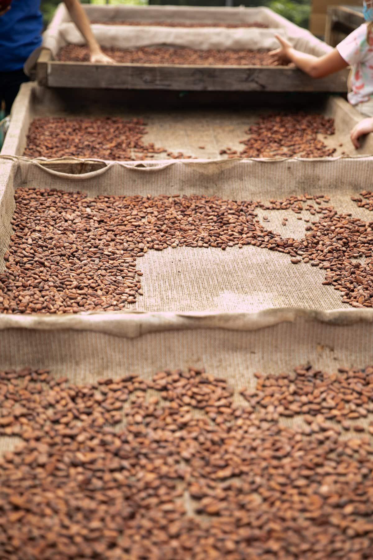dried cacao